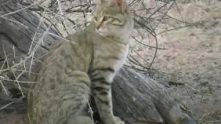 African Wild Cat, Kgalagadi