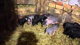 содержание свиней вьетнамской породы