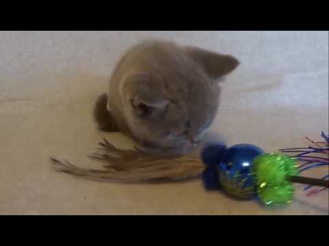 Blue Boy British shorthair Maison