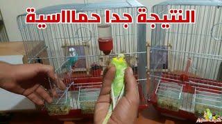 لحظة أدخال أنثى البادجي مع الذكر الهائج | كيف تزوج الطيور بالطريقة الصحيحة