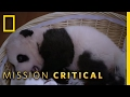 Sleepy, Sleepy Pandas   Mission Critical
