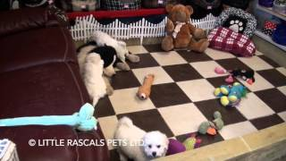 Little Rascals Uk Breeders New Litter Of Poochon Boys And Girls - Puppies For Sale 2016