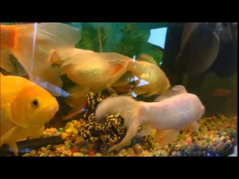 Best pet fish ever youtube for Best fish to have as pets