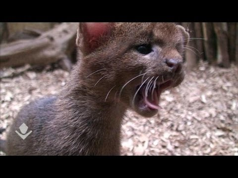 Thumbnail for Cat Video Part 2, Jaguarundi Kittens at the Prague Zoo