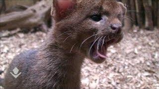 Jaguarundi kittens II. Котята ягуарунди 2