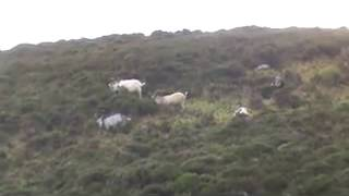 243 shooting feral or wild goats