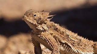 Regal Horned Lizards