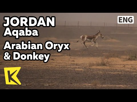 【K】Jordan Travel-Azraq[요르단 여행-아즈락]아라비아 오릭스, 당나귀/Arabian Oryx/Donkey/Azraq Nature Reserve/Wild Animal