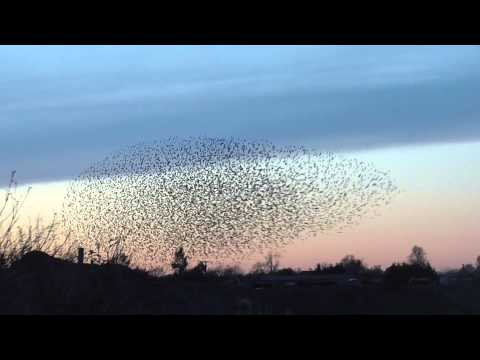 pt1of2 Shape shifting Starling Murmuration Tubney Fen 12Dec1