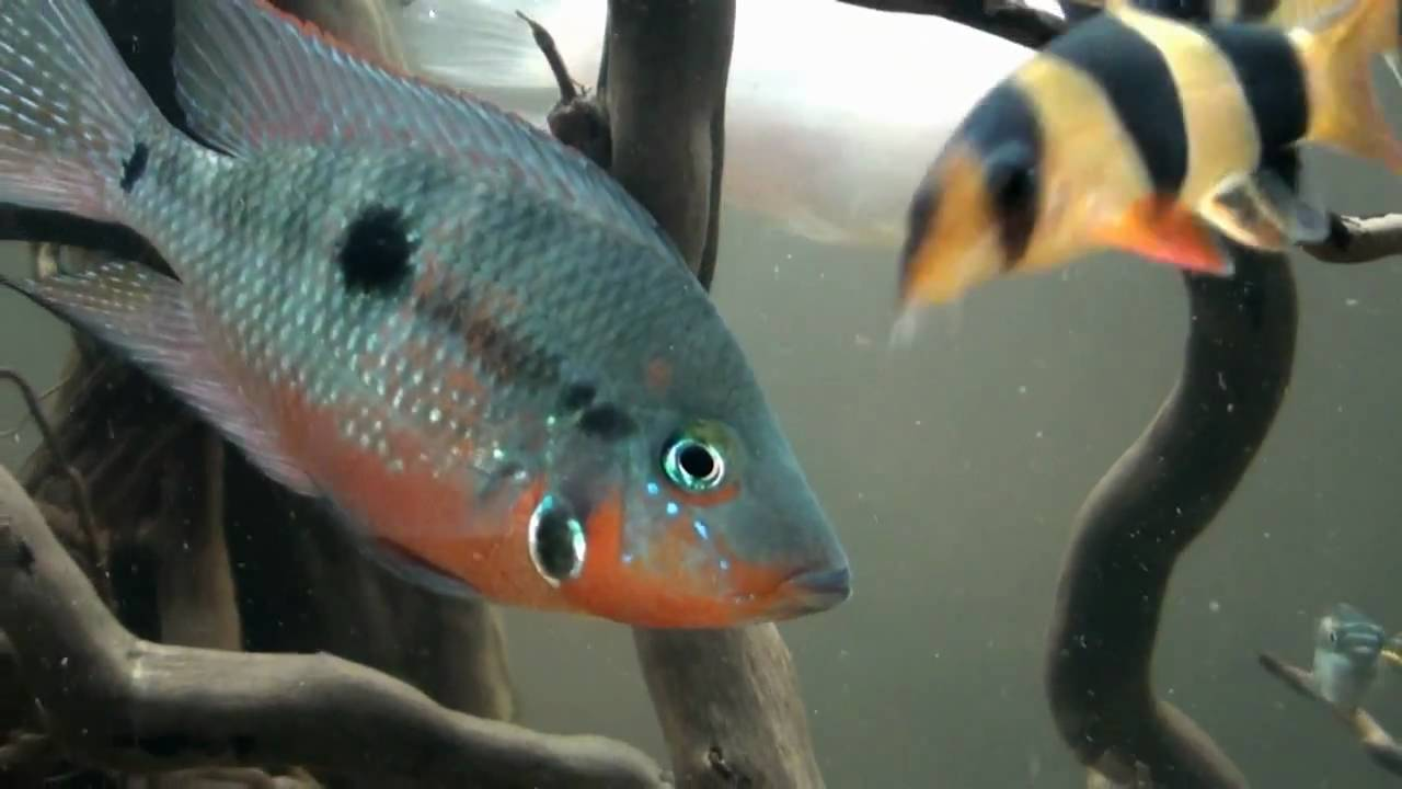 Firemouth Cichlid Thorichthys Meeki Feeding Housing And Care Breeding Aquatic World Info