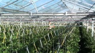 Opuszczanie krzaków pomidorowych - praca w Holandii Zakken