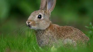 #1849. Кролики и зайцы (В мире животных)