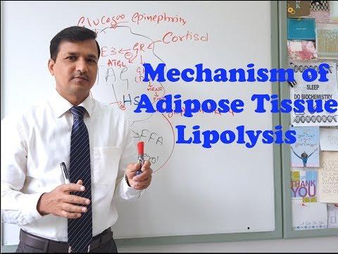 Mechanism Of Adipose Tissue Lipolysis