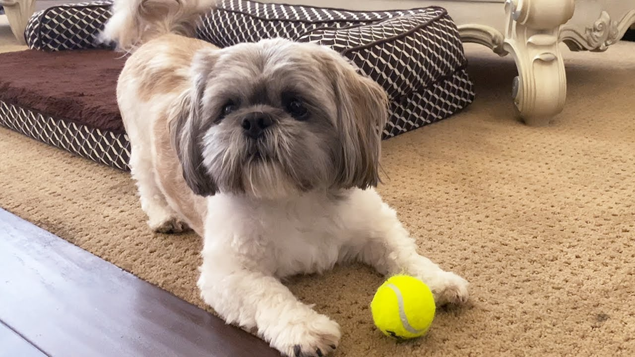 Perrito jugando pelota y haciendo travesuras | Señor Hamilton Shih Tzu