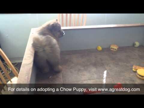 Female Rough Coat Chow Puppy