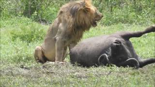 Male Lion eating a buffalo on S145 Kruger National Park