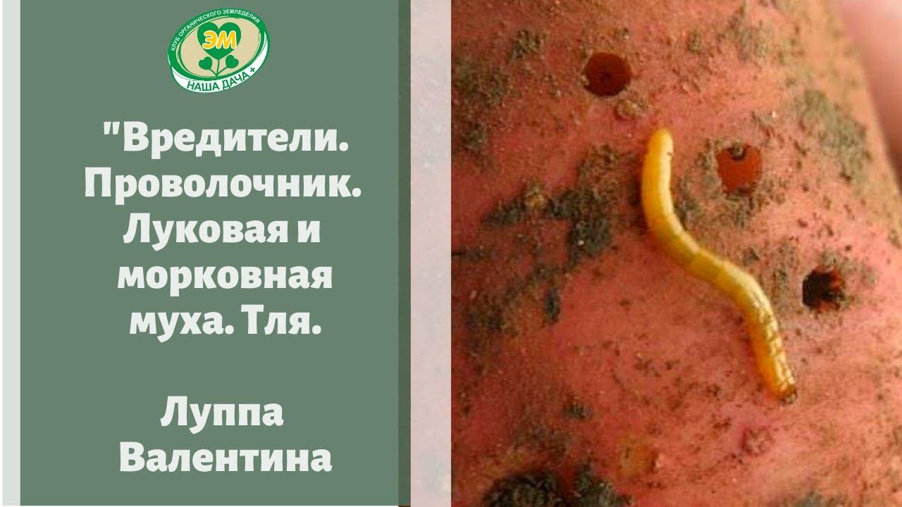 Поговорим о вредителях. Тля на укропе. Луковая и морковная муха. Проволочник. Валентина Луппа.