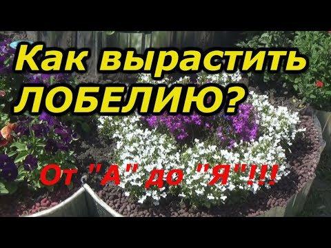 ВСЁ О ЛОБЕЛИИ-ОТ ПРАВИЛЬНОГО ПОСЕВА ДО ЦВЕТЕНИЯ!!!