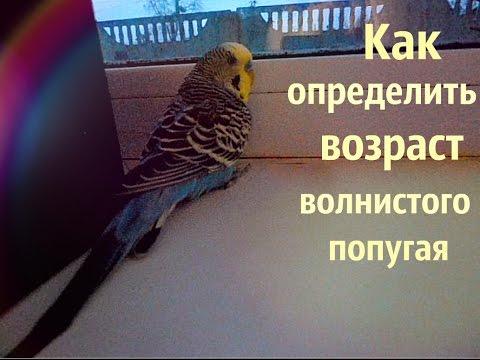 Как определить возраст попугая Корелла возраст кореллы
