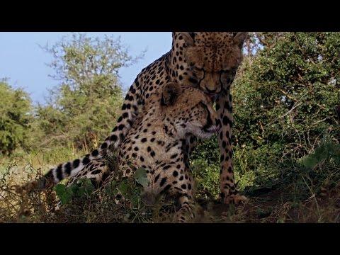 Cheetah Sisters on Their Own