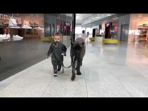 cane corso in shopping center with baby