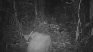 Giant Armadillo Caught On Bushnell Trophy Cam Camera Trap