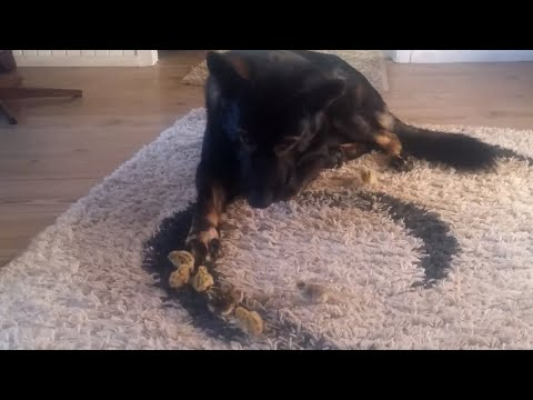German Shepherds introduced to newly hatched chicks