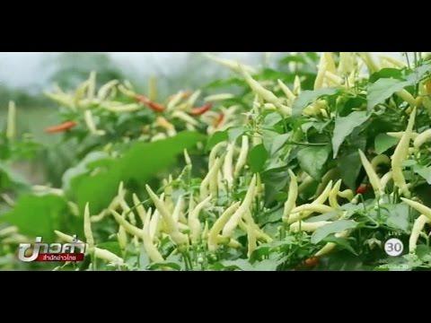 เกษตรทำเงิน : ปลูกพริกกระถางสร้างรายได้