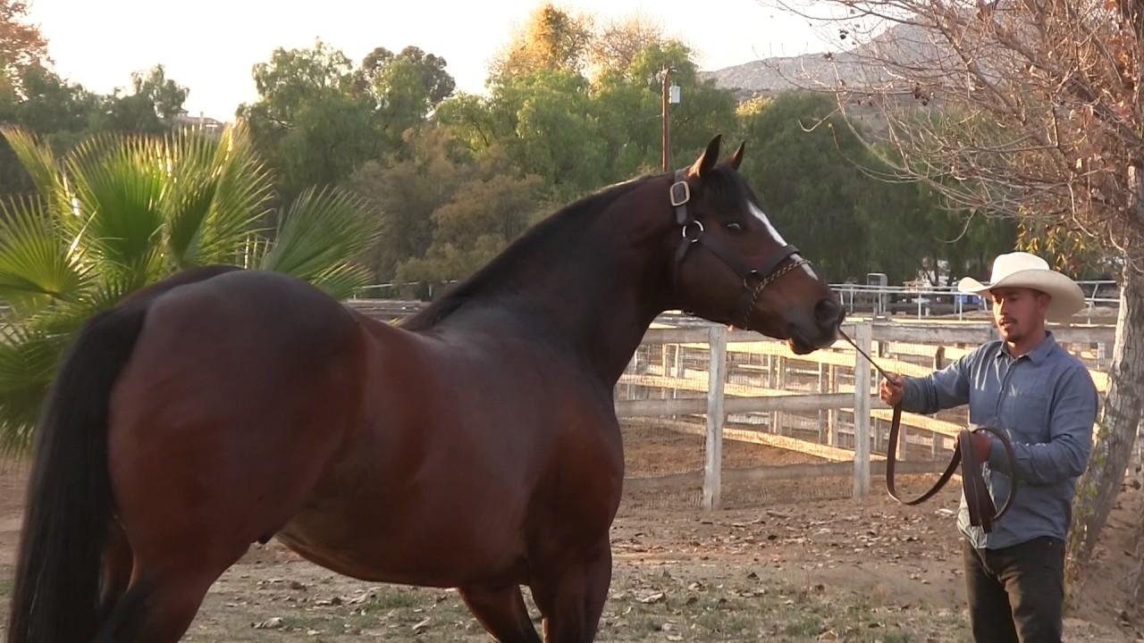 caballos corona cartel en venta en texas