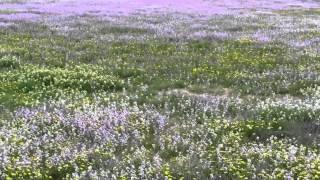 Beautiful Negev, 春雨後の美しいネゲブ.mov