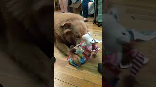 Dog Gently Unwraps Gift With Mouth to Take Out Toy - 1092728