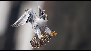 Peregrine Falcon - Best Footage Filmed Over 7 Years in 4k