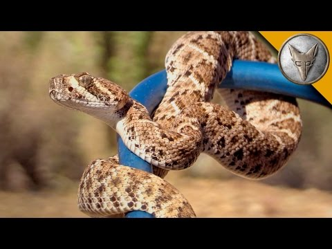 Thumbnail: Baby Rattlesnake is Small but Deadly!