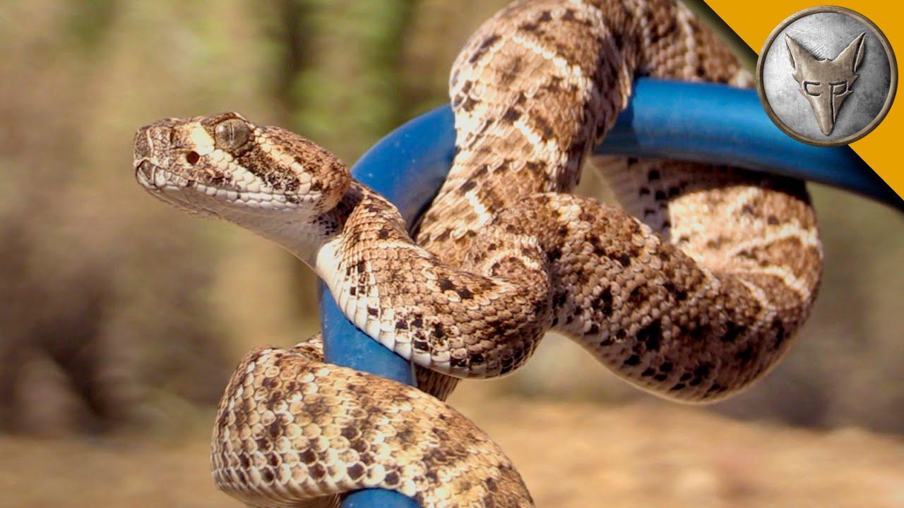 Diamondback Newborn Baby Rattlesnake - newborn baby