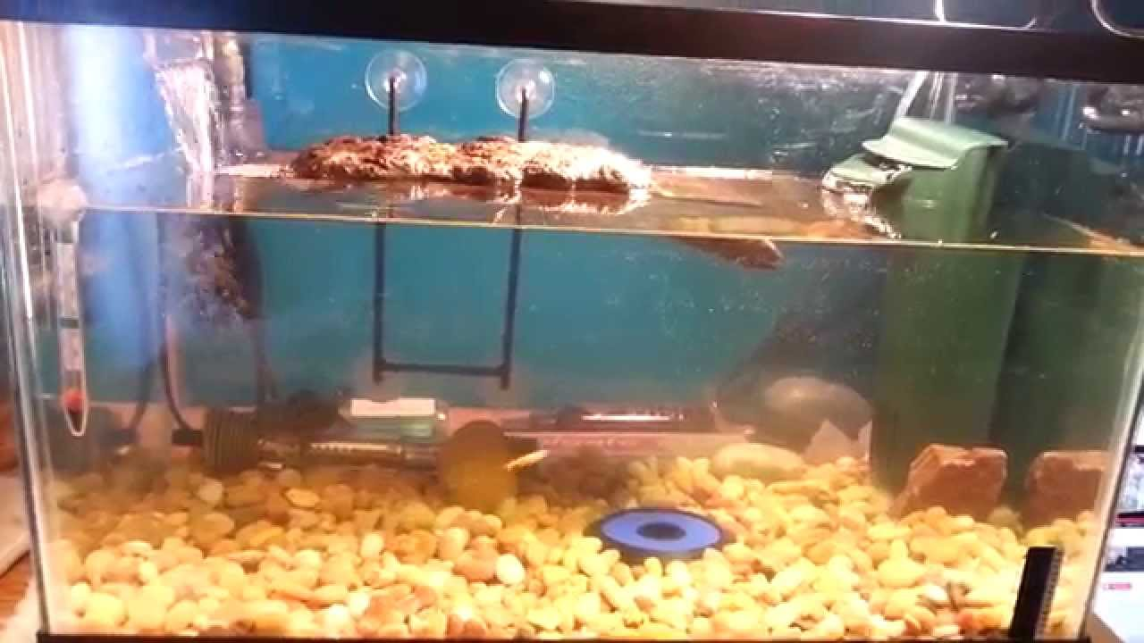 How Big Does A Mississippi Map Turtle Get Baby Mississippi map turtle set up   YouTube