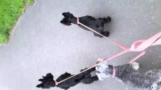 Scottish Terrier & Miniaturr Schnauzer  for A Walk