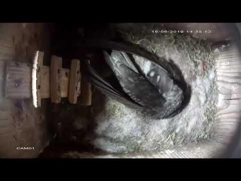 Кровососка стрижиная crataerina pallida