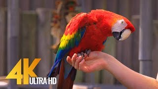 Colorful Parrots with Relaxing Music and Bird Sounds - Beautiful Tropical Birds in 4K Ultra HD