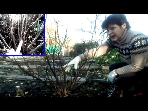 Как правильно обрезать абрикос: видео весенней обрезки