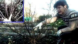 видео Обрезка черной и красной смородины весной