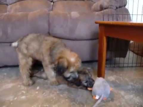 Male Soft Coated Wheaten Terrier Puppy