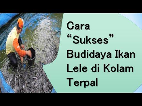Cara Sukses Budidaya Ikan Lele di Kolam Terpal - YouTube