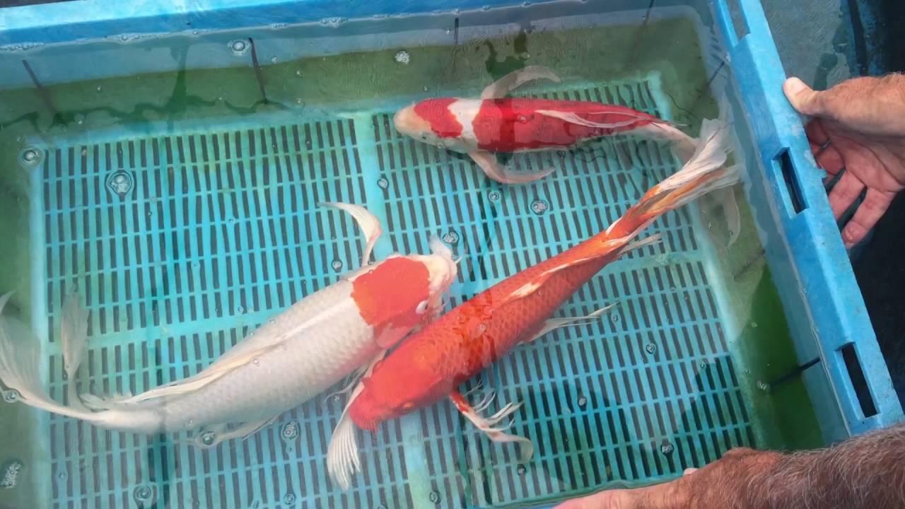 18 premium butterfly koi from blue ridge fish hatchery for Blue ridge fish hatchery