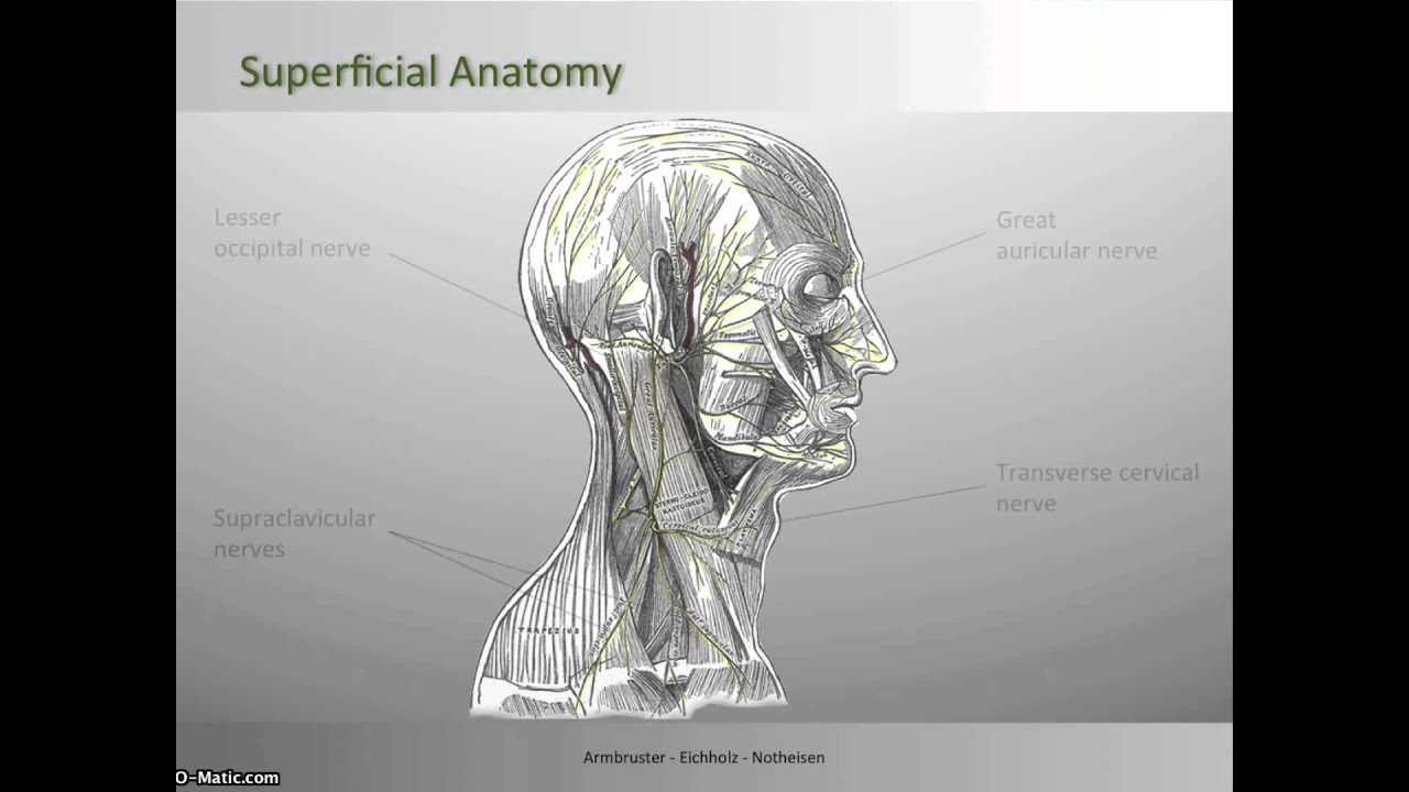 Cervical Plexus Block - Superficial Anatomy - YouTube