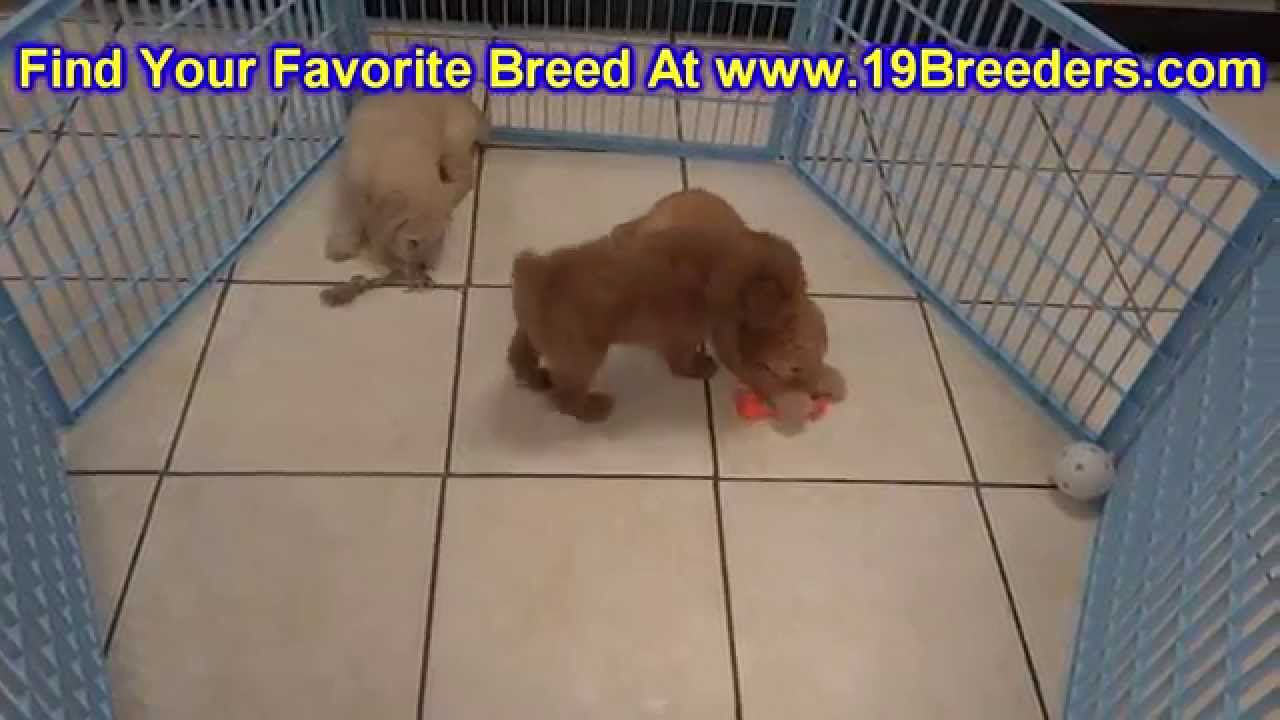 Goldendoodle, Puppies, Dogs, For Sale, In Jacksonville, Florida, FL,  19Breeders, Orlando, Cape Coral