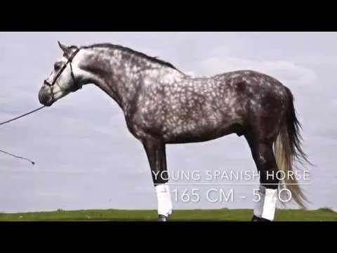 Hortelano - SPANISH HORSE FOR SALE - 5 YO - 165 CM