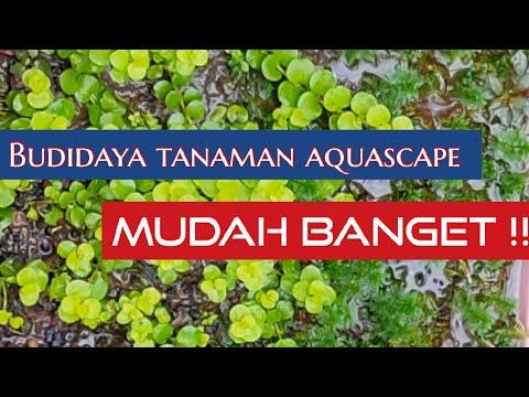 Cara mudah dan murah budidaya tanaman aquascape - YouTube