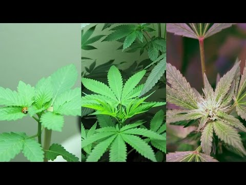 6-month time lapse of The Oregonian's marijuana plants growing