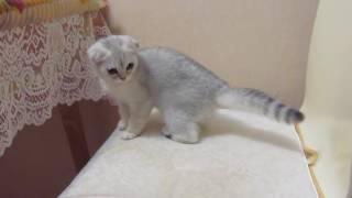 Кошечка серебристая вислоухая шиншилла