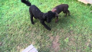 Sassy (standard Poodle) And Jake (lab) Are Having A Fun Time Playing
